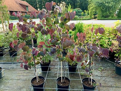 "Bild ""Herbst:Herbst_2020_Cercis_canadensis_Forest_Pansy.JPEG"""