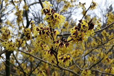 "Bild ""Winter:Hamamelis_Winter.jpg"""